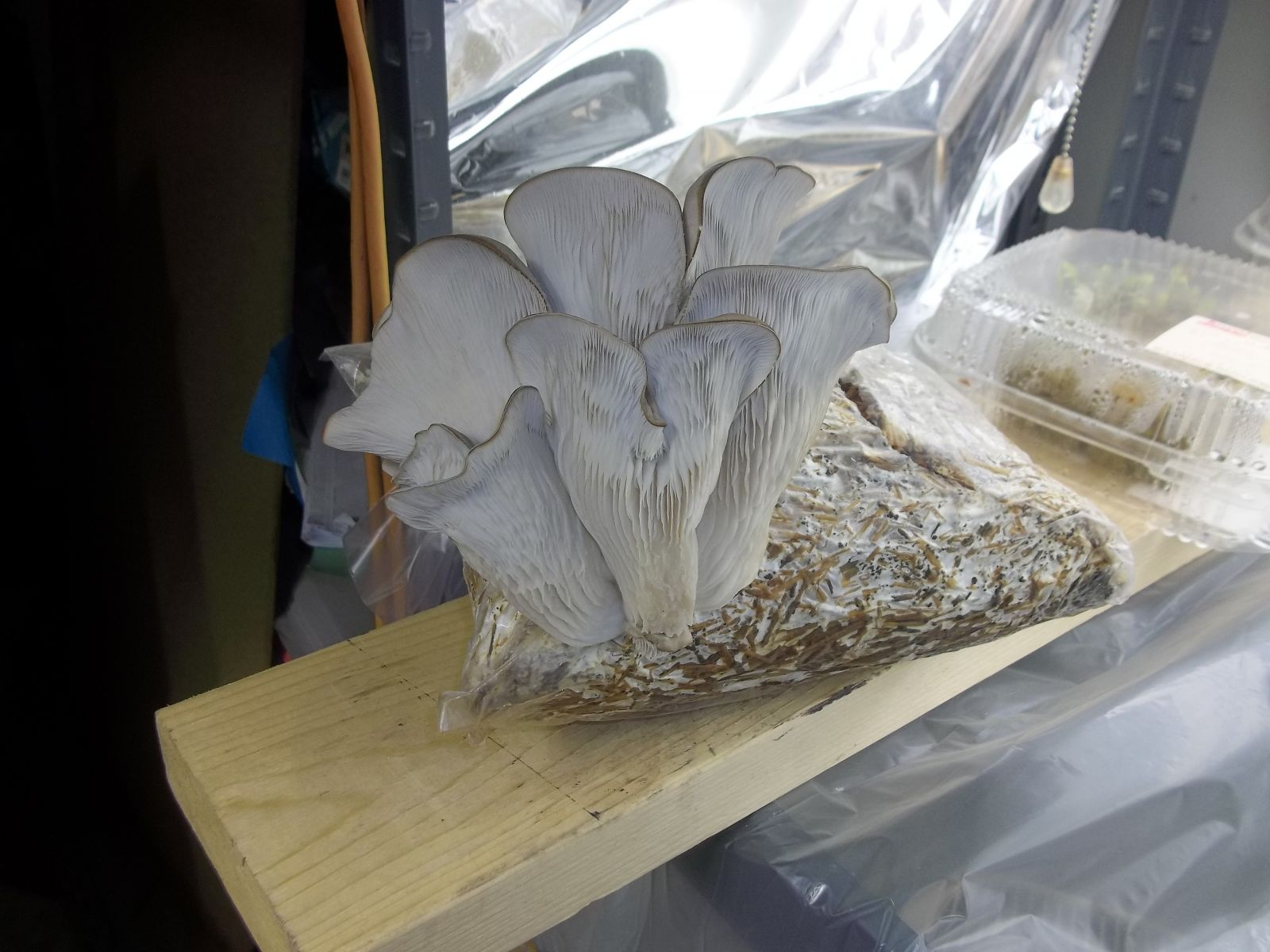 Grow Grey Oyster Mushrooms