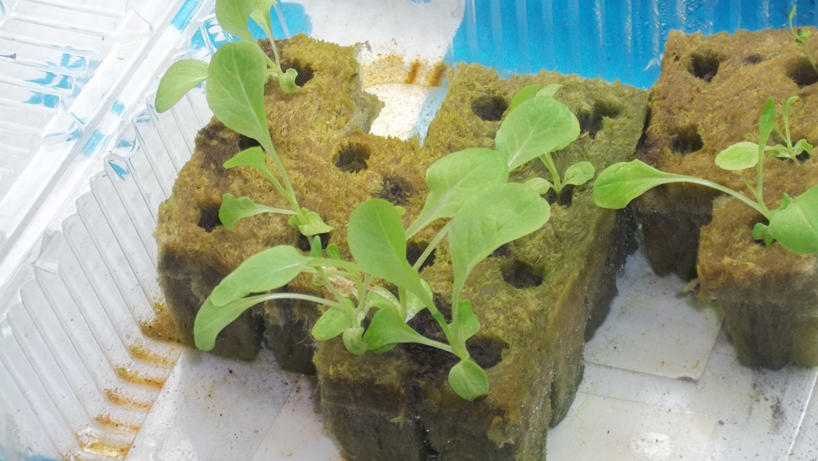 Lettuce Geminated In Rockwool Cubes