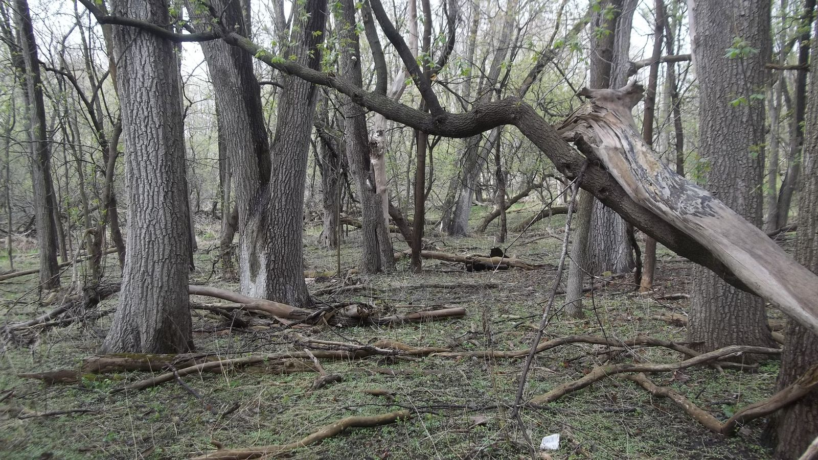 old elm tree forest for mushroom hunting