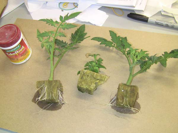 cloning tomato plants and planting strawberries  tomorrow's garden, Natural flower