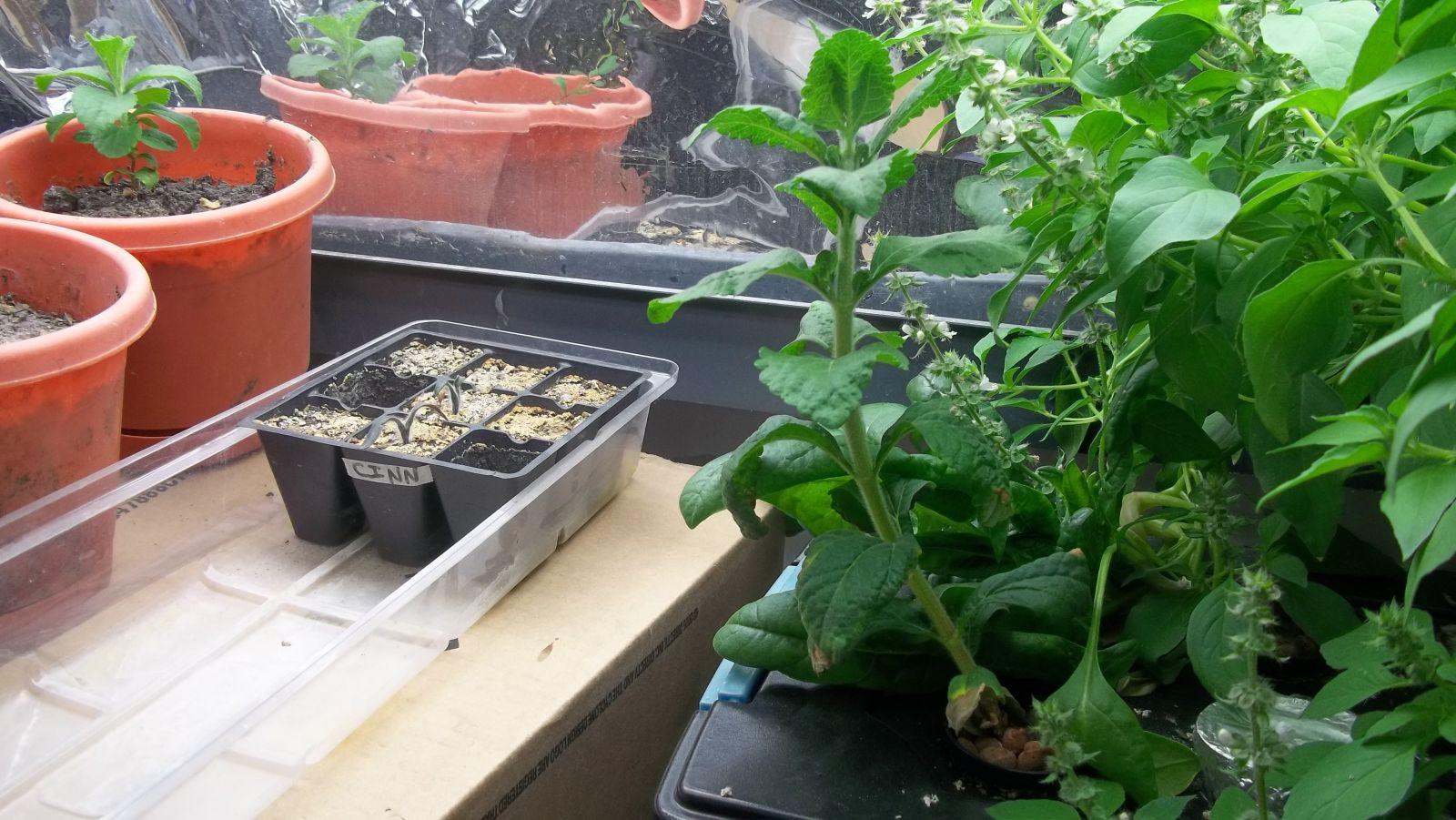 Hydroponic stevia vs stevia grown in soil tomorrow 39 s garden for Soil vs hydro
