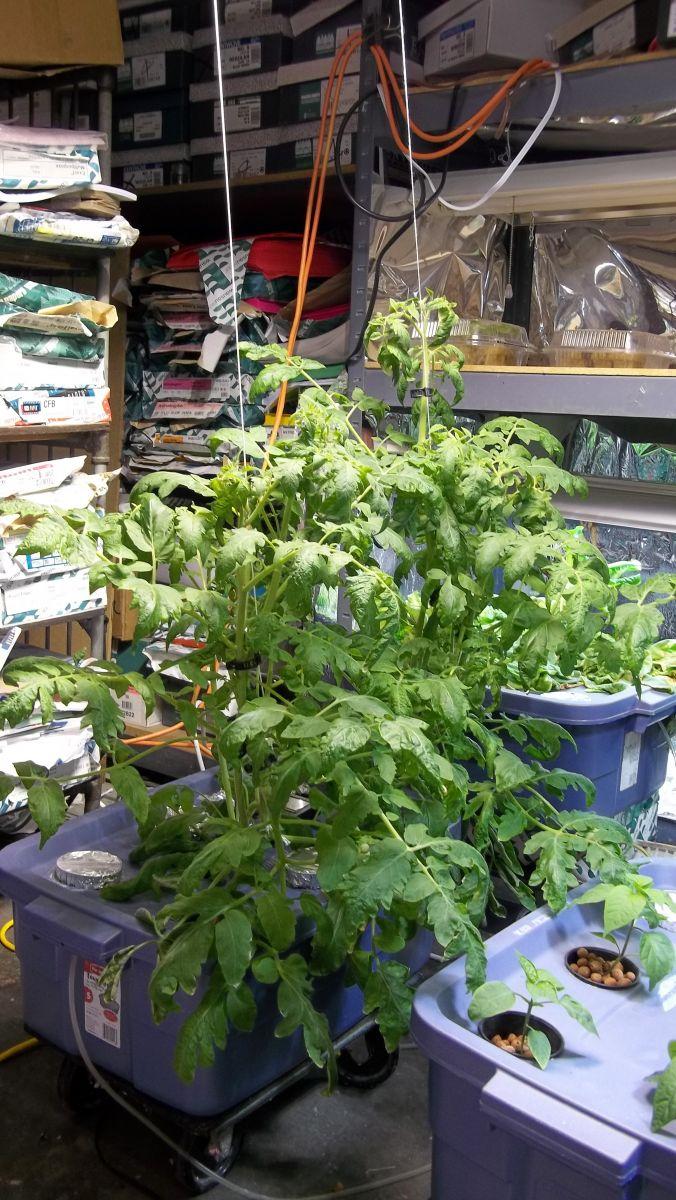 indoor winter garden update van wert ohio tomatoes 2 11 2012
